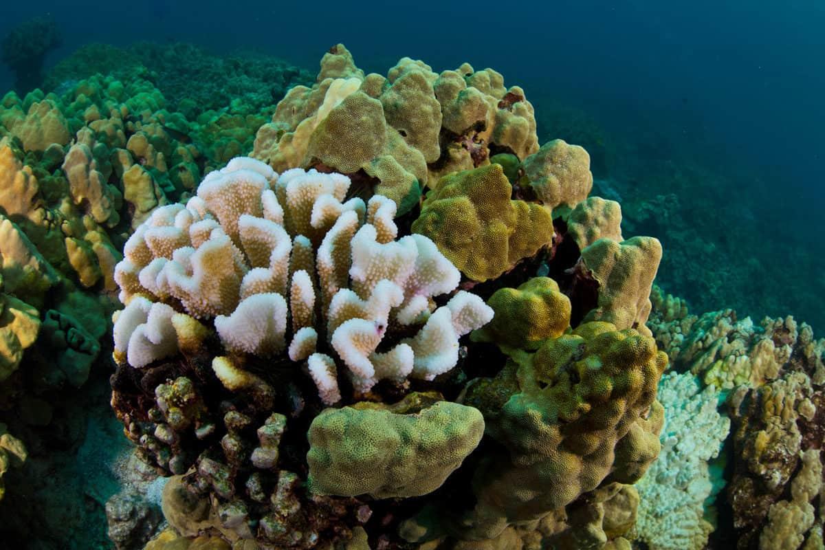 Hawaii-coral-bleaching-2015-2-G-Asner_banner-1200x800